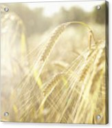 Golden Wheat Field In Sunlight, Close-up Acrylic Print