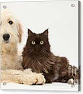 Goldendoodle And Chocolate Cat Acrylic Print