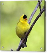 Goldfinch - All Puffed Up Acrylic Print