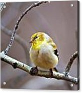 Goldfinch In March Acrylic Print