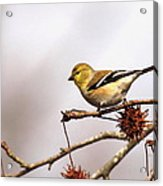 Goldfinch In Sweetgum Acrylic Print