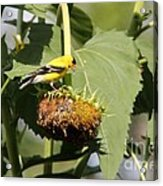 Goldfinch Picking The Seed  Acrylic Print