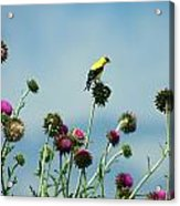 Goldfinches On Thistles Acrylic Print