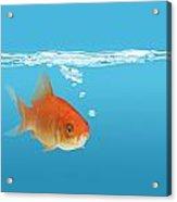 Goldfish Carassius Auratus Acrylic Print