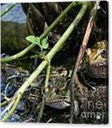 Gone To The Frogs Acrylic Print