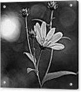 Good Morning Bw Acrylic Print