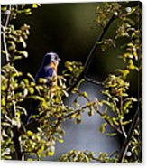Good Morning Sunshine - Eastern Bluebird Acrylic Print