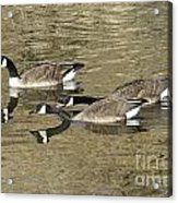 Goose Giving A Warning Acrylic Print