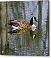 Goose Reflections Acrylic Print