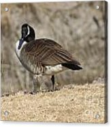 Goose With Head Cocked  Acrylic Print