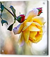 Gorgeous Roses Acrylic Print