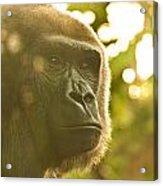 Gorilla At Dusk Acrylic Print