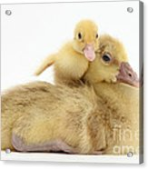 Gosling And Duckling Acrylic Print