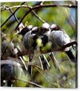 Gossip Birds Acrylic Print
