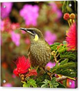 Graceful Honeyeater Acrylic Print