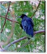 Grackle On A Branch Acrylic Print