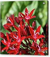 Graffiti Red Lace Acrylic Print