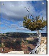 Grand Canyon Struggling Tree Acrylic Print