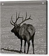 Grand Dad Elk Acrylic Print