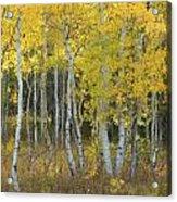 Grand Teton Aspens Acrylic Print