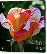 Grandiflora Acrylic Print