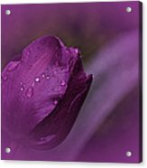 Grape Tulip Acrylic Print
