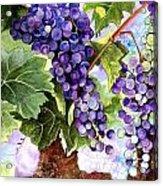 Grape Vines Acrylic Print by Karen Casciani