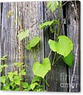 Grape Vines On An Old Barn Acrylic Print