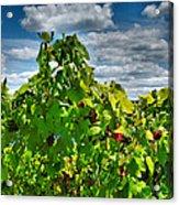 Grape Vines Up Close Acrylic Print