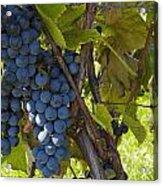 Grapes On A Vine Sutton Junction Quebec Acrylic Print