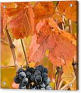 Grapes On The Vine - Vertical Acrylic Print