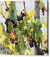 Grapes On Vine Acrylic Print by Jeremy Woodhouse
