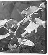 Grapevine In Morning Light Acrylic Print