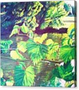 Grapevines Toledo Botanical Gardens Acrylic Print