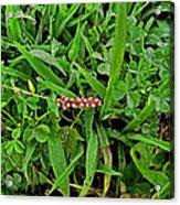 Grass Drops II Acrylic Print