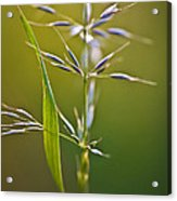 Grass In Flower Acrylic Print