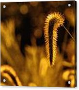 Grass In Golden Light Acrylic Print
