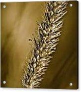 Grass Seedhead Acrylic Print