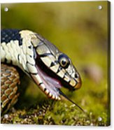 Grass Snake Feigning Death Acrylic Print