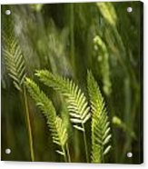 Grass Stems And Seed No.2129 Acrylic Print