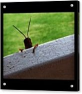 Grasshopper Acrylic Print by Dana Coplin