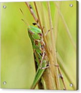 Grasshopper In Green Acrylic Print