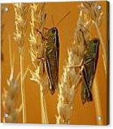Grasshoppers On Wheat, Treherne Acrylic Print