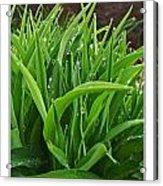 Grassy Drops Acrylic Print