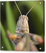 Gray Bird Grasshopper Schistocerca Acrylic Print