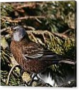 Gray-crowned Rosy Finch Acrylic Print