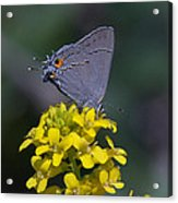 Gray Hairstreak Butterfly Din044 Acrylic Print
