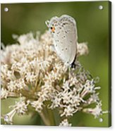 Gray Hairstreak Butterfly On Milkweed Wildflowers Acrylic Print