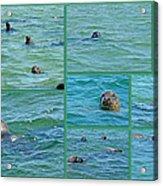 Gray Seals At Chatham - Cape Cod Acrylic Print