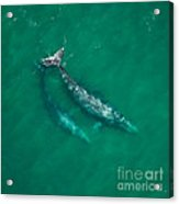 Gray Whale Mother And One-year-old Calf Acrylic Print